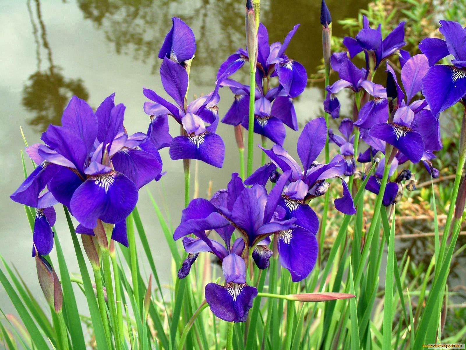 Цветы похожие на ирисы: названия цветов и фотографии 99